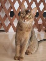 【おお留守番猫さん】ちょこまかアビちゃん