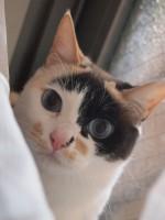 【お留守番猫さん】小さいクリーム三毛のチョビちゃん