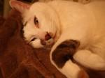 猫が時々白目向いて寝てるのは瞬膜です・・・がアホっぽい