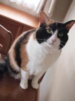 【お留守番猫さん】櫛が好きすぎる三毛猫ミーシャちゃん