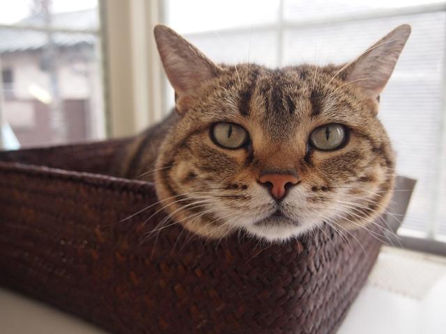 顔だけかごから出てる猫さん