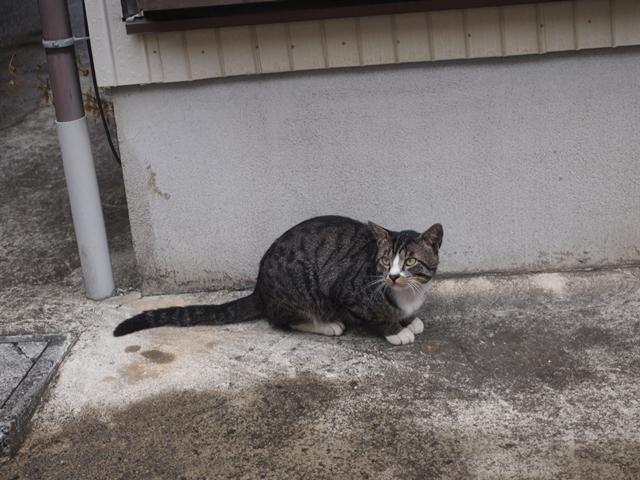 キジトラ白の野良猫さん
