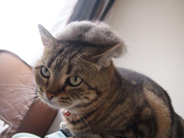 猫毛カツラ