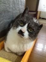 【お留守番猫さん】身構えるうずらちゃん