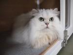 【お留守番猫さん】幻の白ライオンなポジュ君