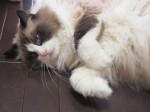 【お留守番ねこ猫さん】モフモフすぎて大変なかわいさです