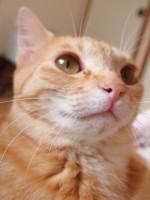猫アレルギーの仕組み解明のニュース!猫アレルギーで猫と暮らせない人には朗報ですね!