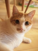 【お留守番猫さん】つぶらな瞳で見つめるポン太君