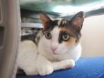 【お留守番猫さん】お上品な雰囲気の三毛猫ミーシャちゃん