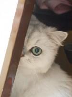 【お留守番猫さん】サマーカットで家政婦は見た状態のラムちゃん