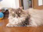 【お留守番猫さん】モフモフ猫パンチの福太朗君