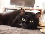 【お留守番猫さん】ツンデレ黒猫のくーにゃん