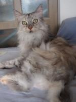 【お留守番猫さん】メインクーン女子のまりんちゃんとあんじゅちゃん
