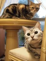 【お留守番猫さん】ダブルアメショの銀ちゃん、モカちゃん
