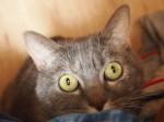 【お留守番猫さん】ドキドキなココちゃんカニカマにつられる