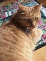 【お留守番猫さん】茶トラのちゃと君、階段からお見送り