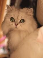 【お留守番猫さん】美ニャンのラムちゃんお引越し